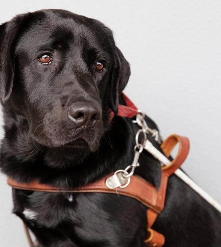 A black labrador Guide Dog seated against a grey background. The Guide Dog is in harness and is looking to the right of the camera.