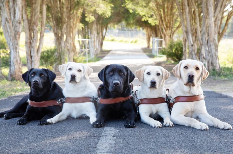 Five labrador Guide Dogs in harness, three yellow and two black, seated flat on the ground outside. They are all looking at the camera and there are trees in the background.