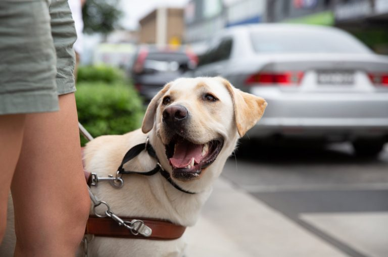 A yellow labrador Guide Dog, wearing a harness. The dog is looking up at its handler.
