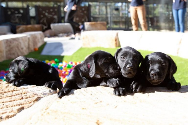 Four eight week old labrador puppies sitting outside. Their front paws are perched on a ledge and there are multicolored balls and people in the background.